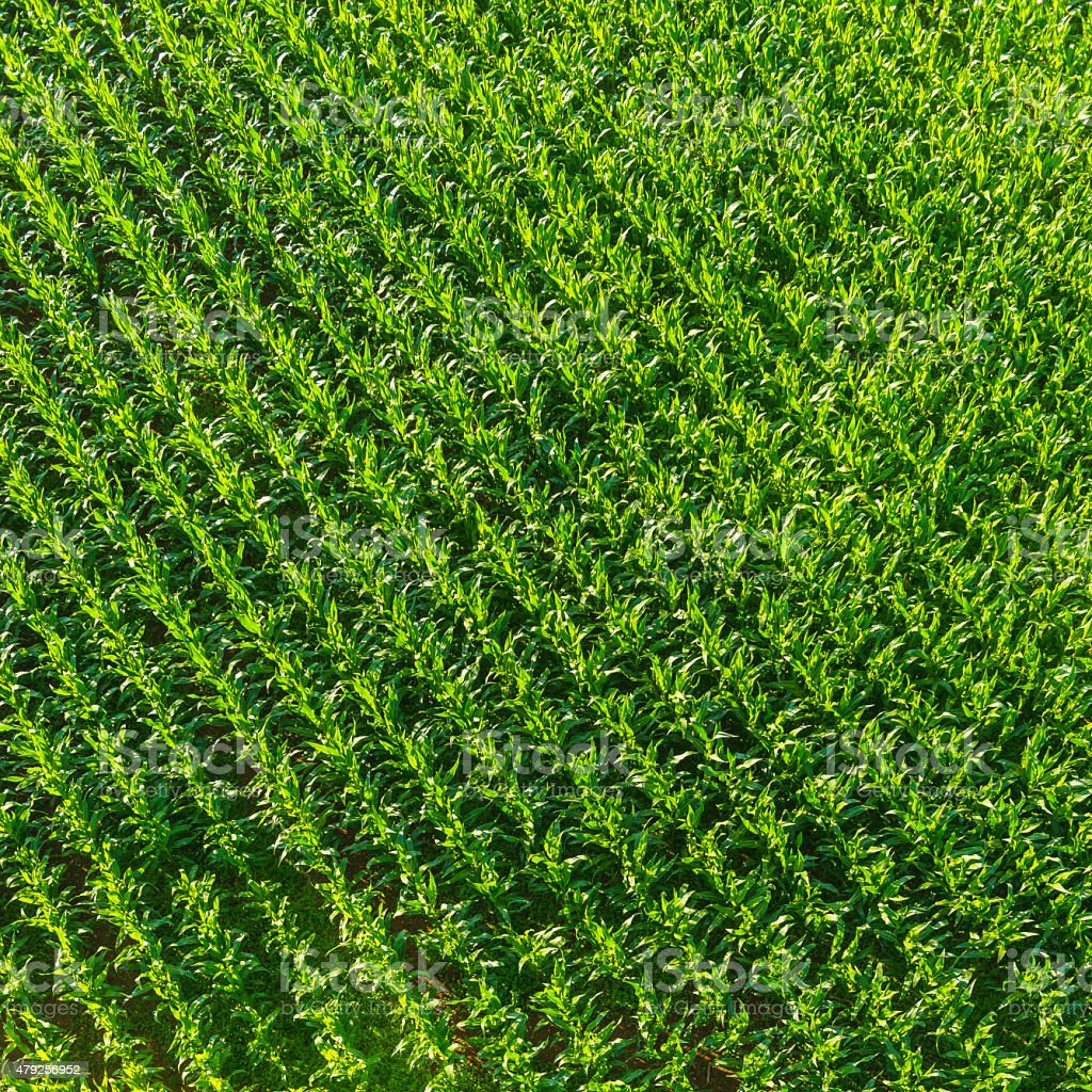 Vibrant green maize corn crop diagonal rows agricultural aerial view stock photo