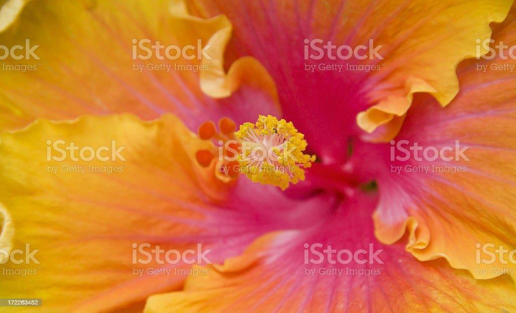 Vibrant Hibiscus royalty-free stock photo