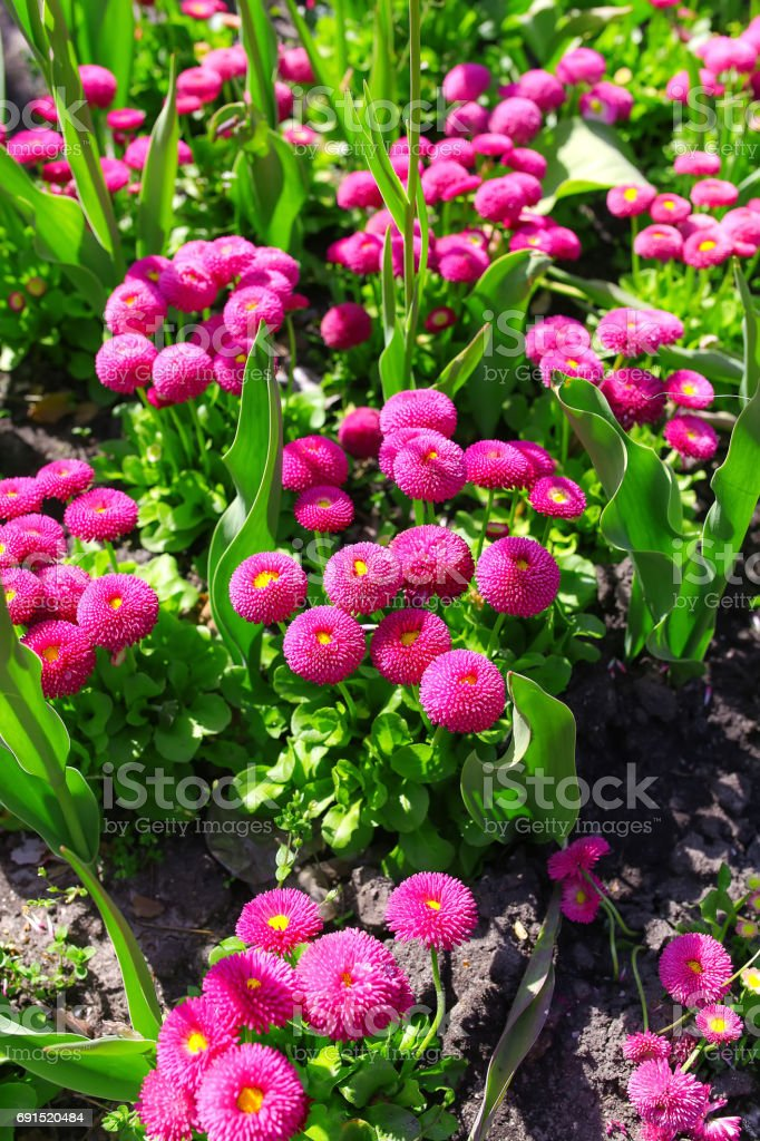 Vibrant magenta asters with special tube form of petals. stock photo