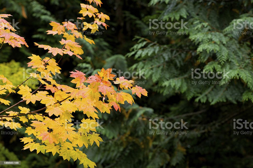 Vibrant maple leaves changing color in Autumn royalty-free stock photo