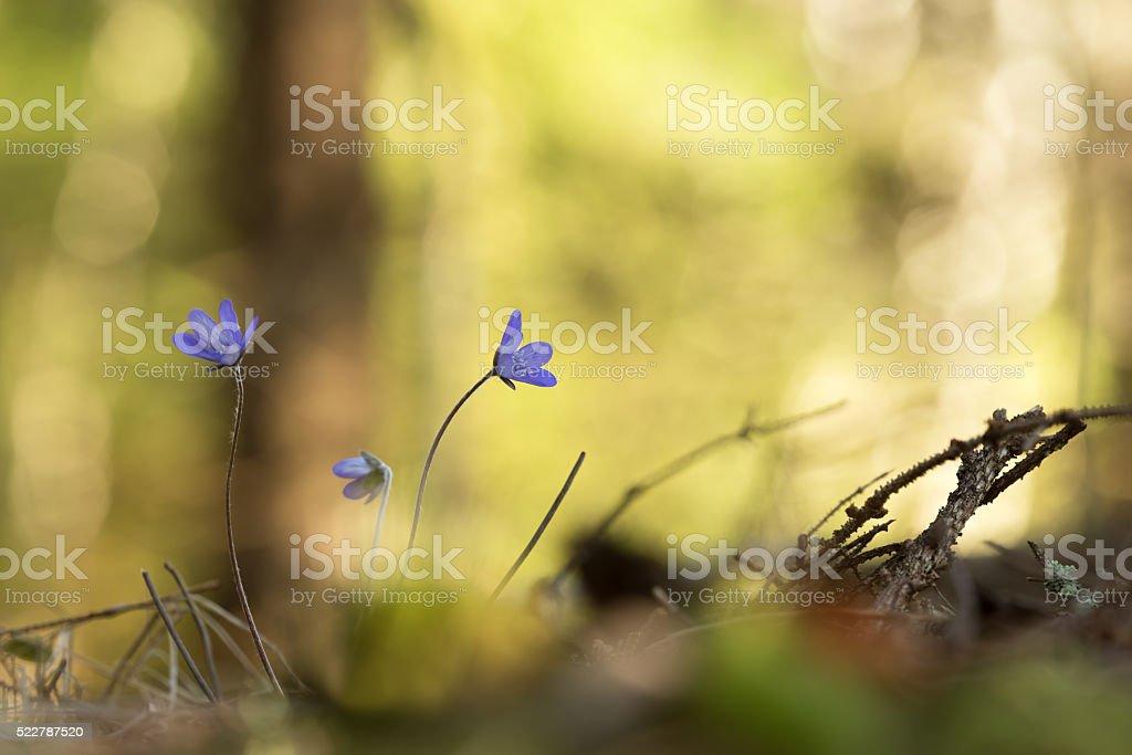 Vibrant photo of Blooming Liverleafs, Hepatica nobilis stock photo