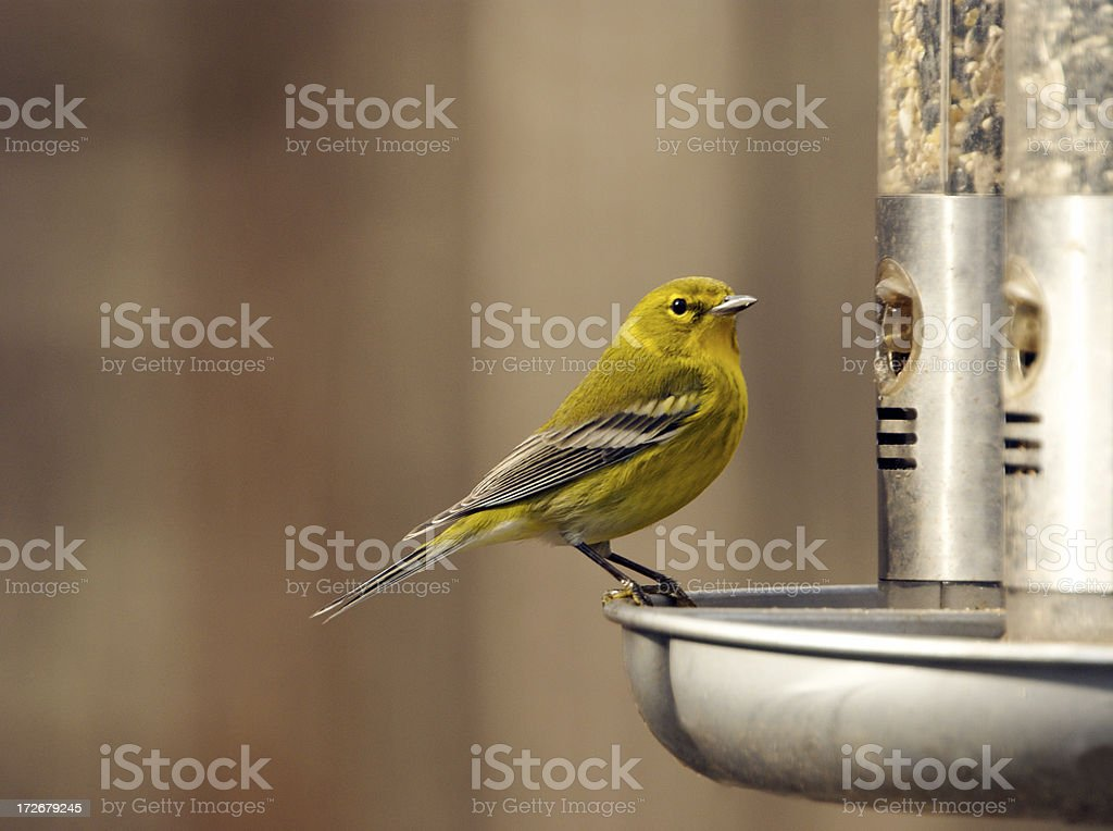 Vibrant Pine Warbler stock photo