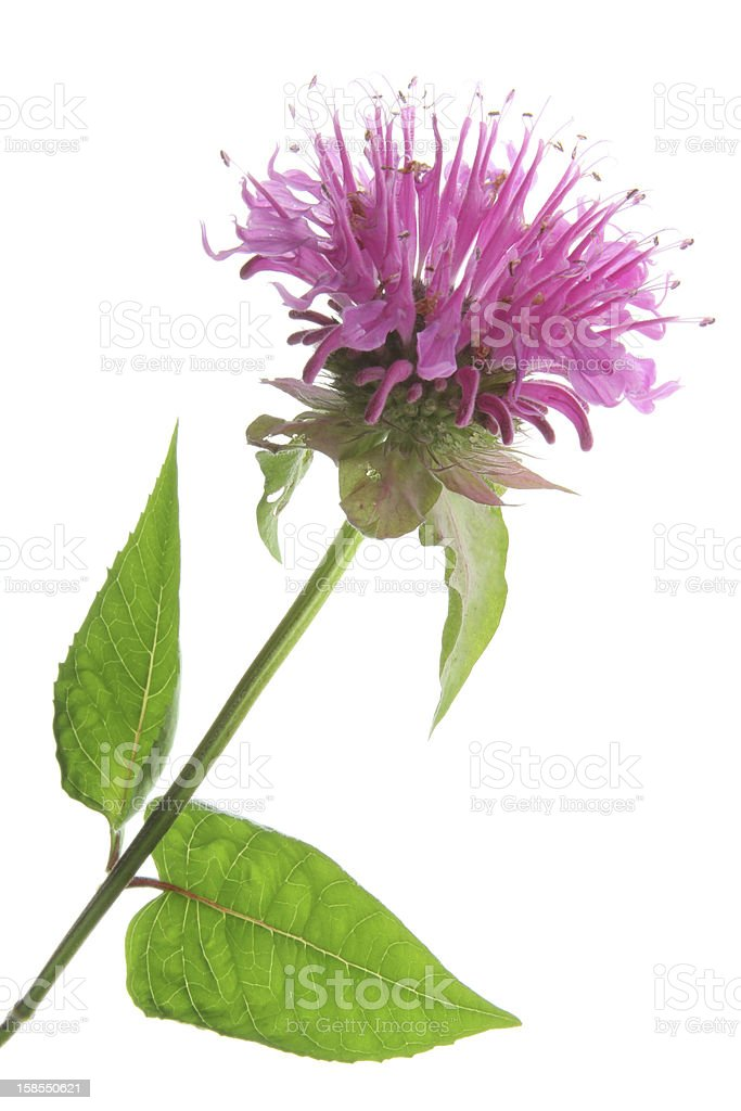 A vibrant pink bee balm is shown with a white background stock photo