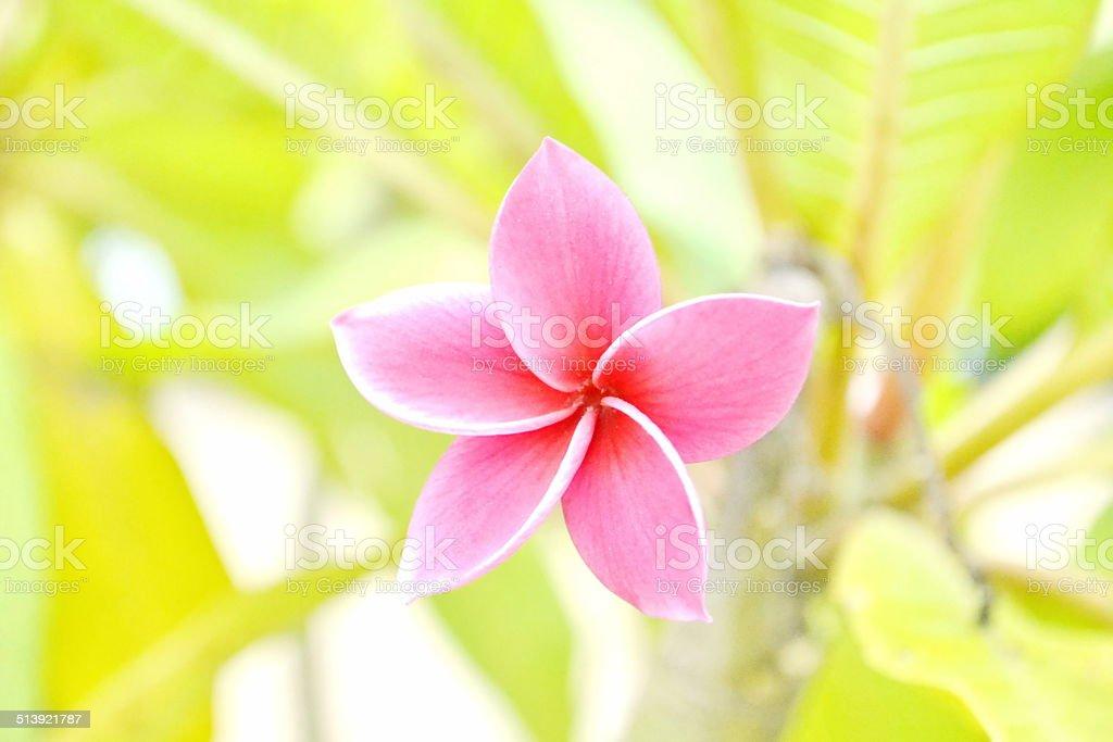 Vibrant Pink Frangipani Flowers stock photo