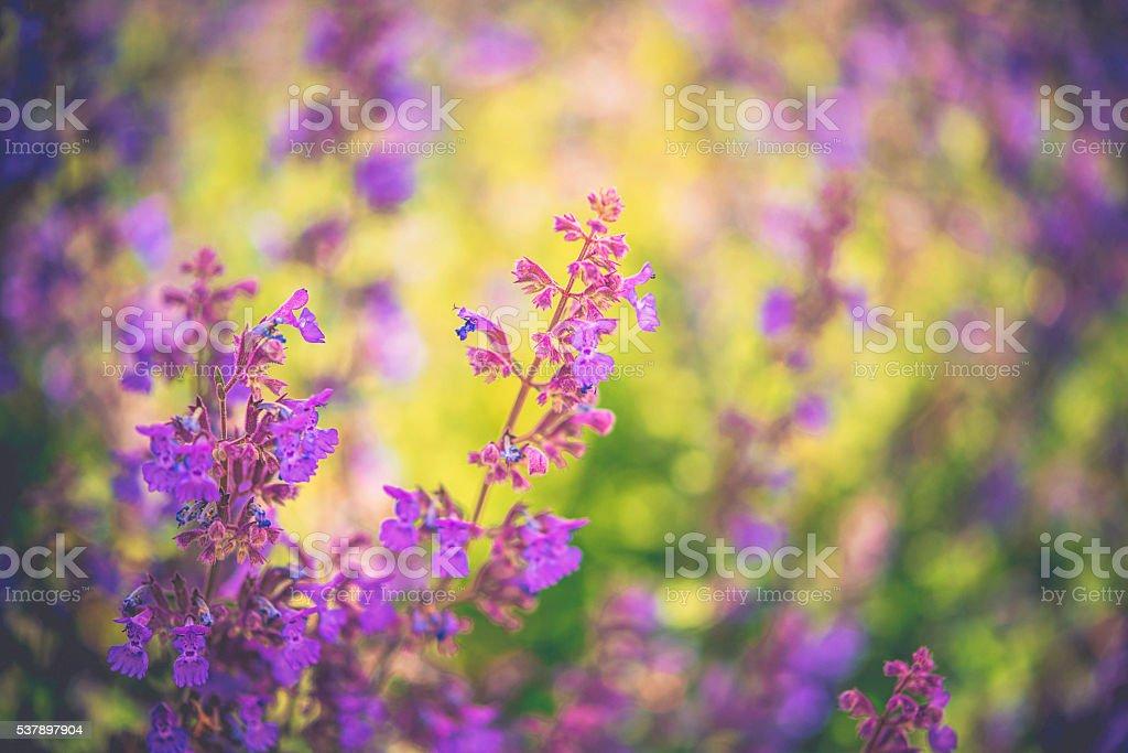 Vibrant purple salvia plants in warm natural sunlight stock photo