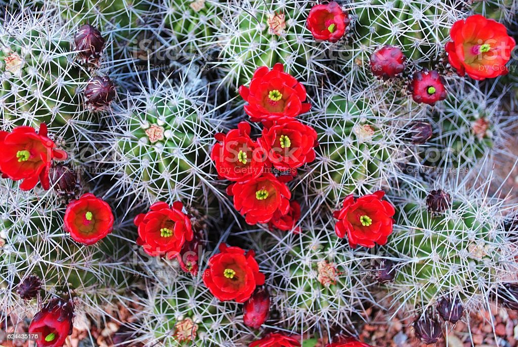 Vibrant red Claret Cup Cactus in Spring stock photo