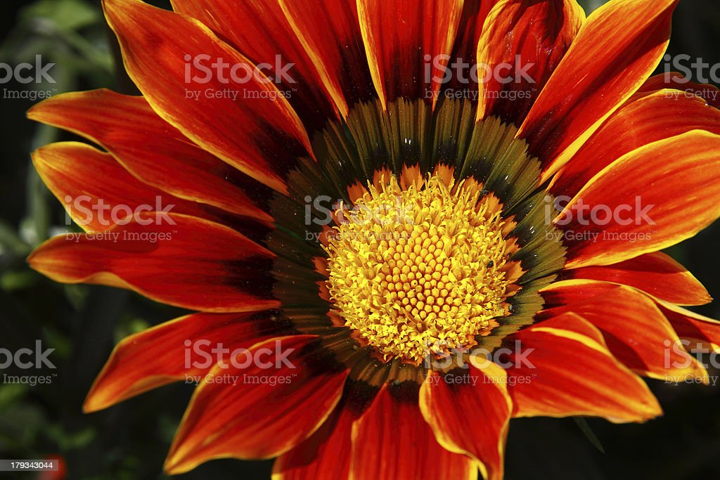 Vibrant Red Orange & Yellow Gazania Rigens, Treasure Flowers stock photo
