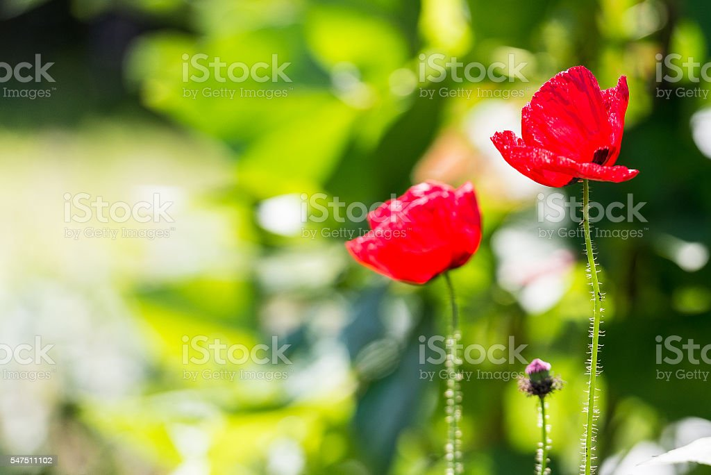 Vibrant red poppies against a defocused background stock photo
