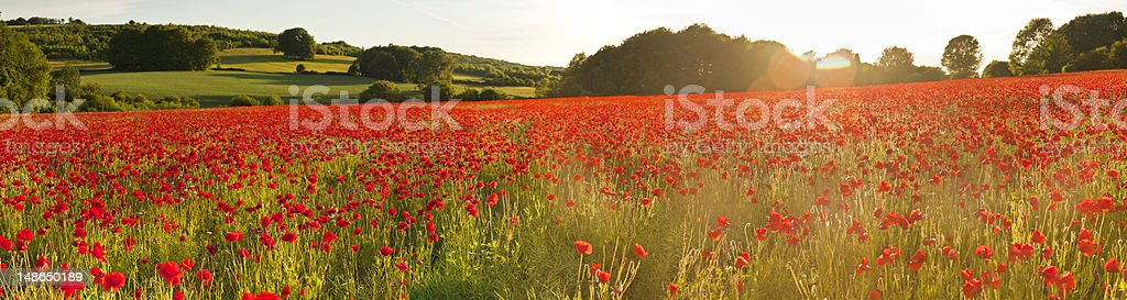 Vibrant red poppy fields warm sunlight flaring summer countryside panorama stock photo