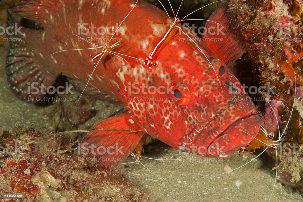 Vibrant red tomato rock cod in Sodwana stock photo