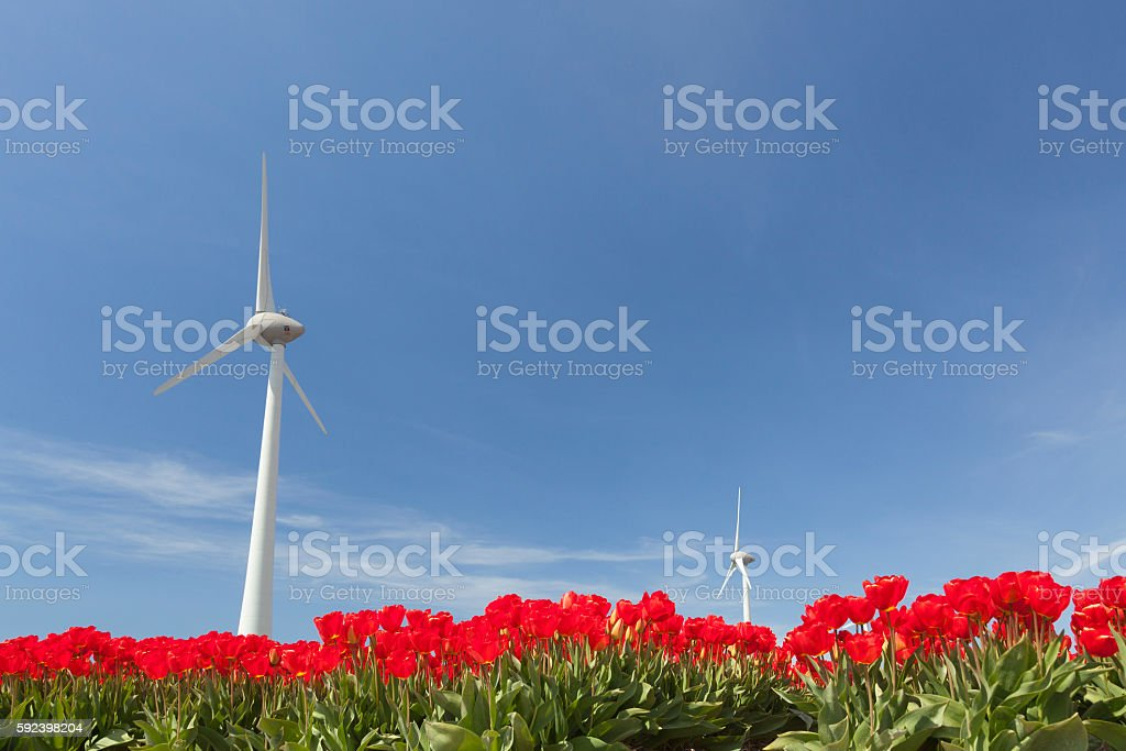 vibrant red tulips and wind turbine against blue sky stock photo