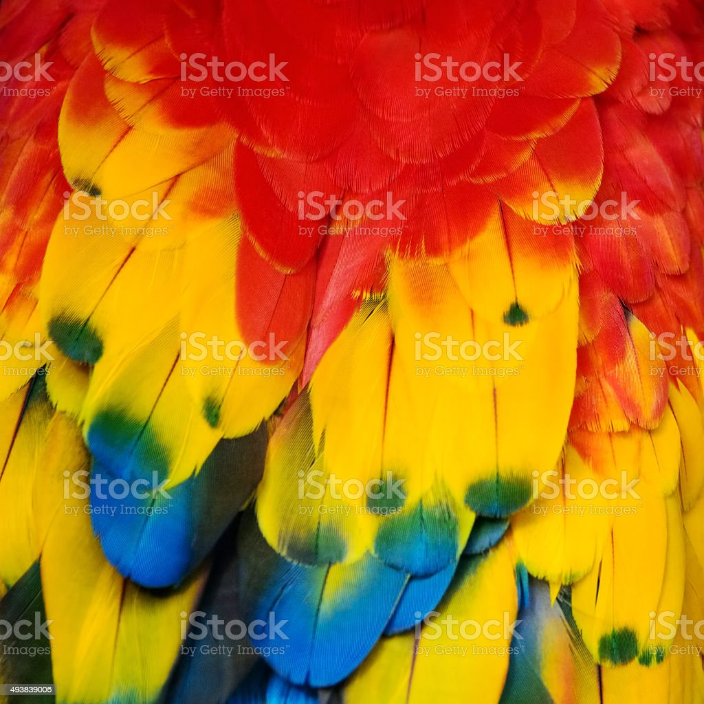 vibrant scarlet macaw feathers stock photo