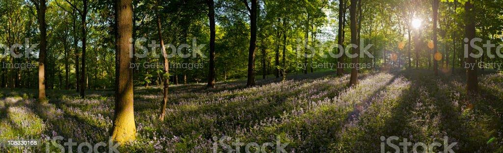 Vibrant summer sunrise idyllic wildflower forest ancient broadleaf woodland panorama royalty-free stock photo