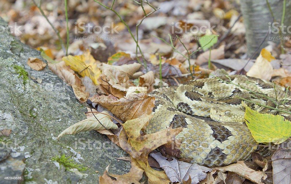 Vibrant Timber Rattlesnake stock photo