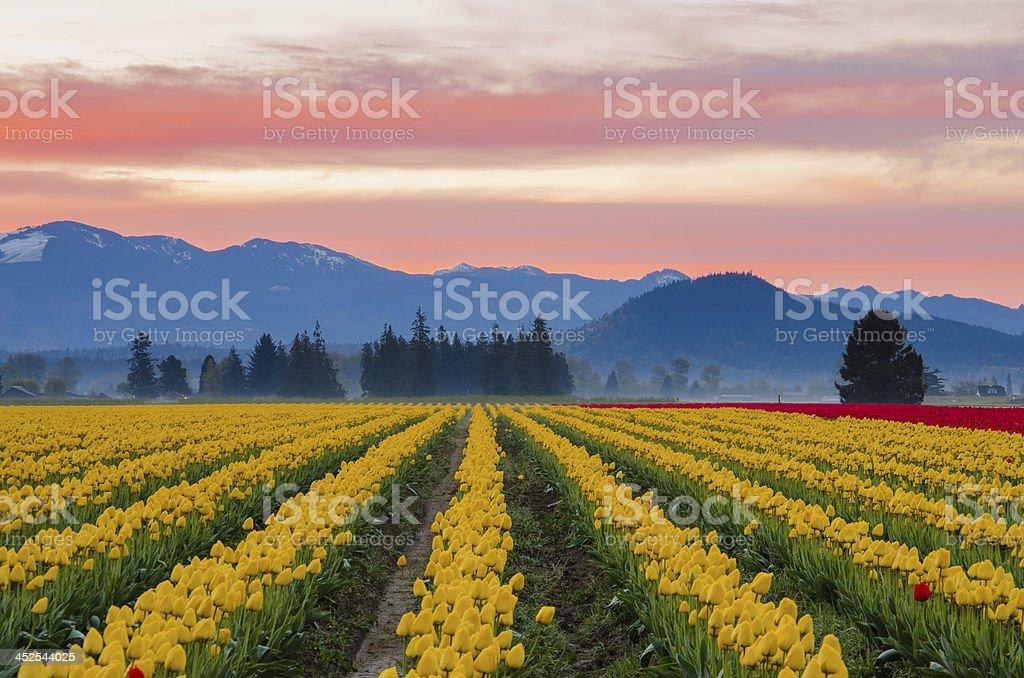 Vibrant tulip fields of Skagit Valley stock photo