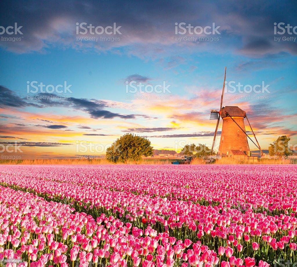Vibrant tulips field with Dutch windmill stock photo