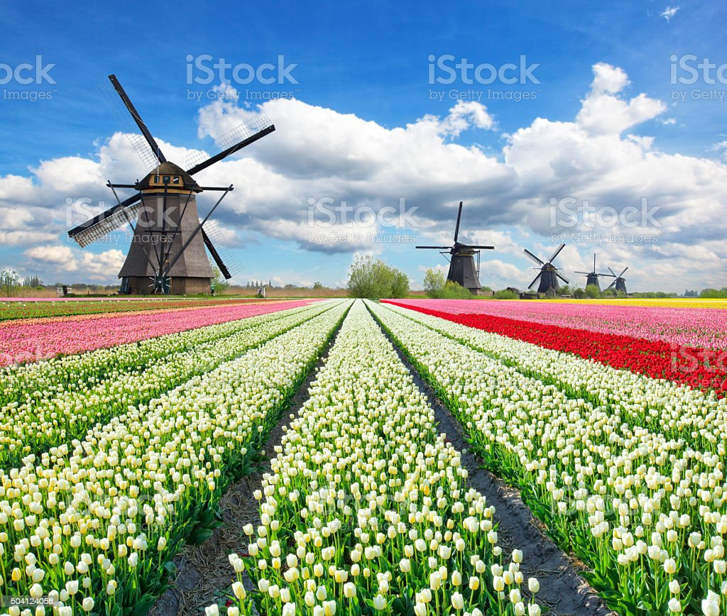 Vibrant tulips field with Dutch windmills stock photo