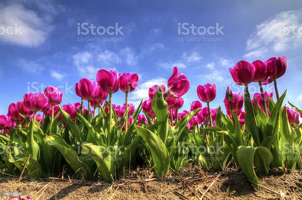 Vibrant tulips stock photo