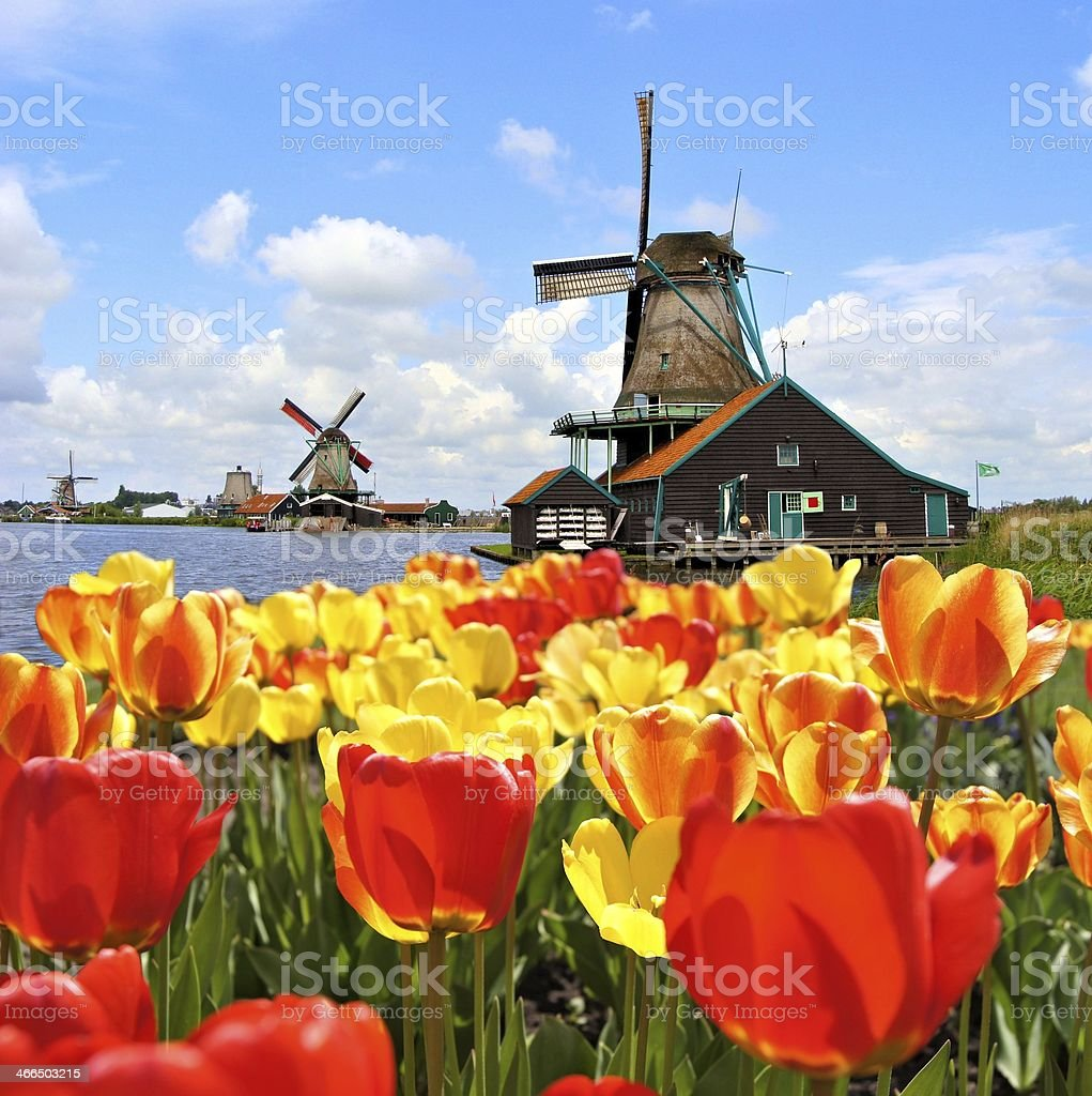 Vibrant tulips with windmills, Netherlands stock photo