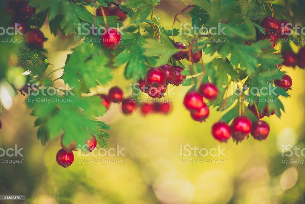 Vibrant wild red berries amongst green foliage stock photo