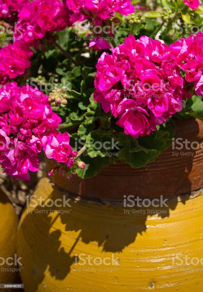 Vibrant Yellow Pot of  Hot Pink Geraniums (Close-Up) stock photo