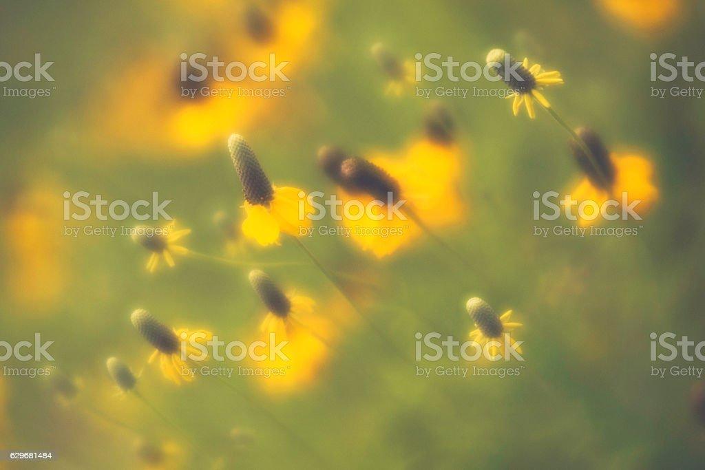 Vibrant yellow prairie coneflowers growing wild stock photo