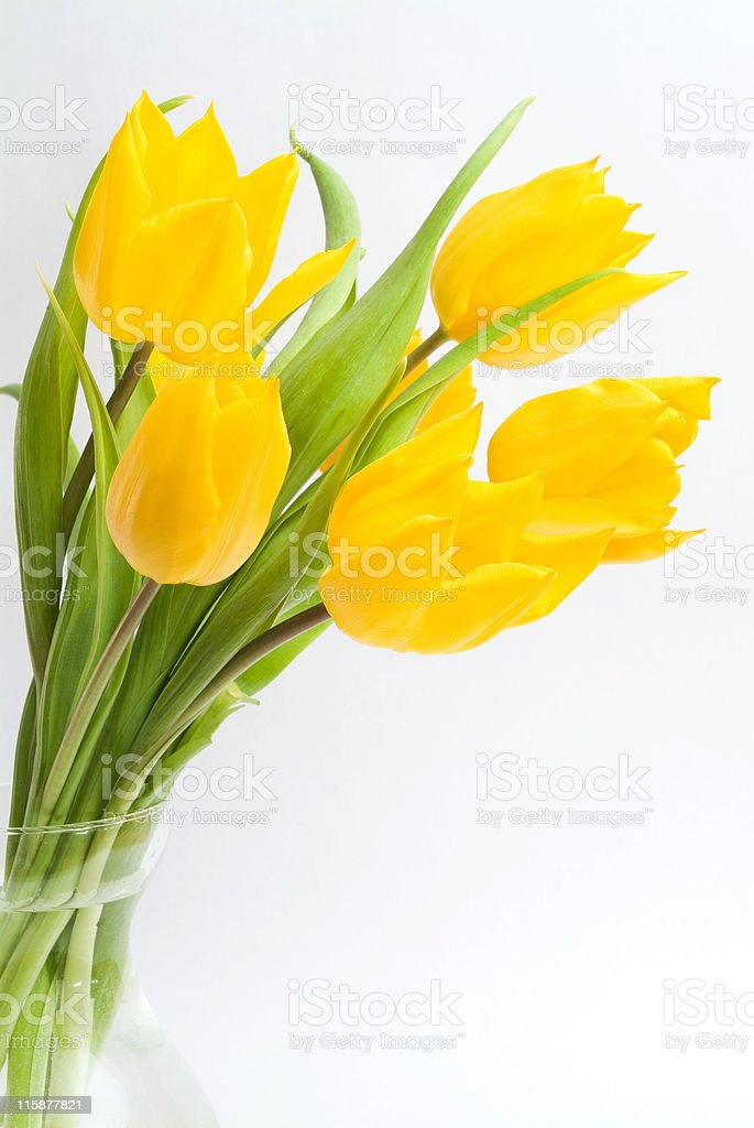 Vibrant yellow tulips in glass vase on white background royalty-free stock photo