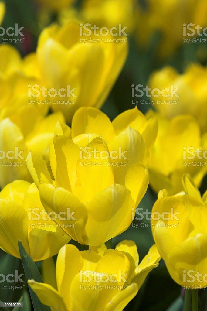 Vibrant Yellow Tulips royalty-free stock photo