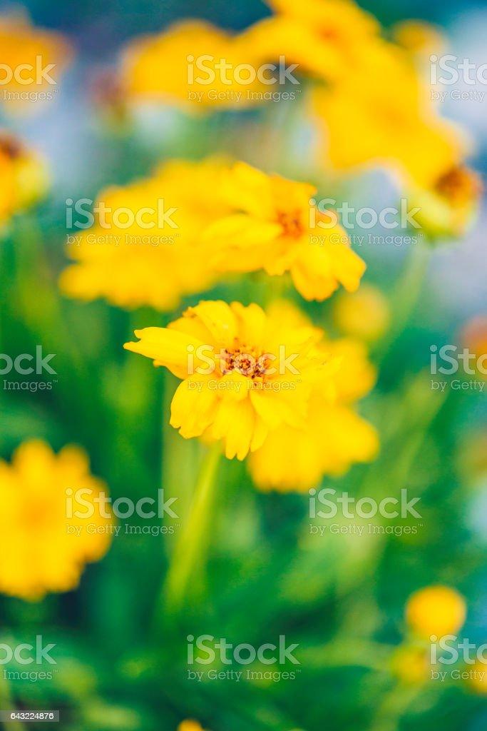 Vibrant yellow willdflowers stock photo