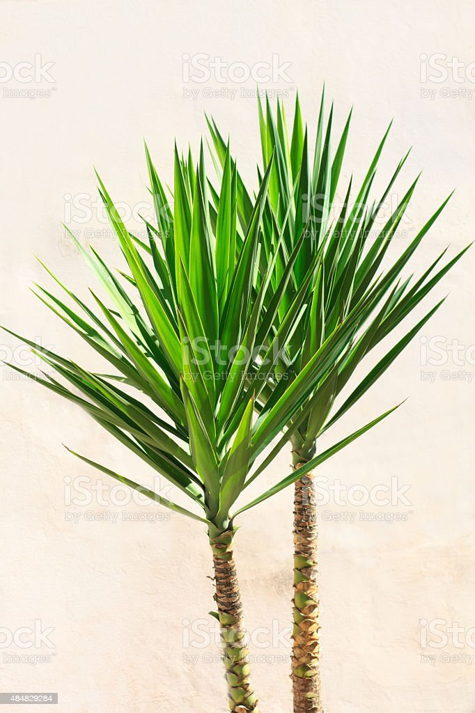 Vibrant Yucca Houseplant Against Old White Wall stock photo