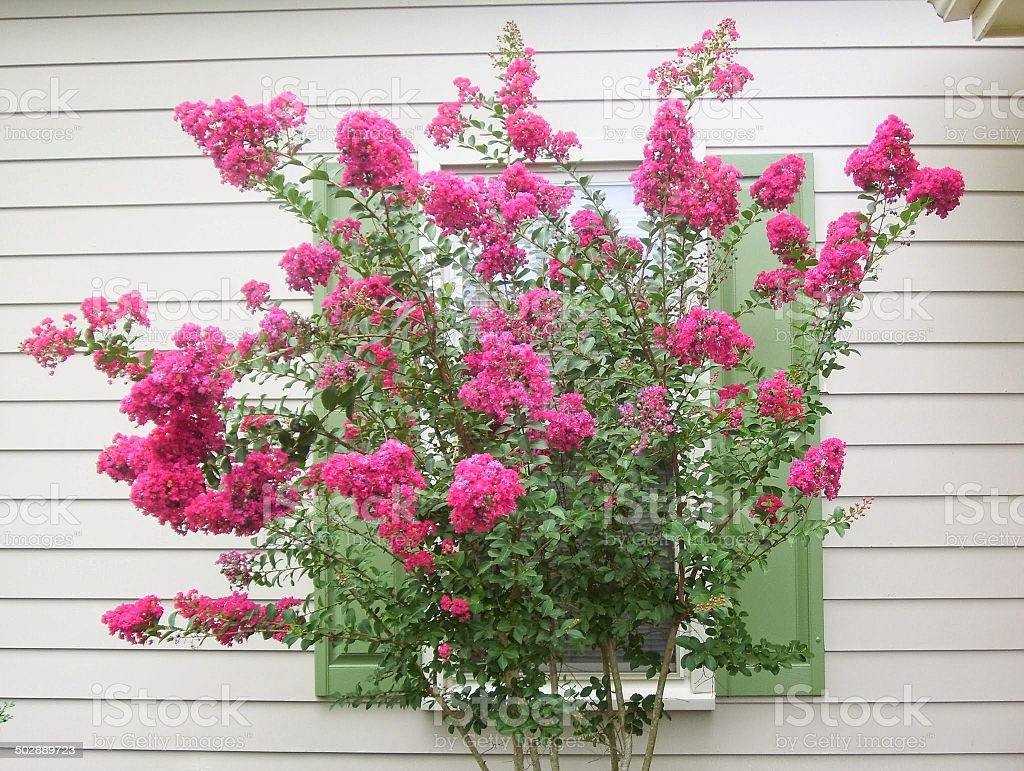 Vibrantly Blooming Crepe Myrtle Tree stock photo