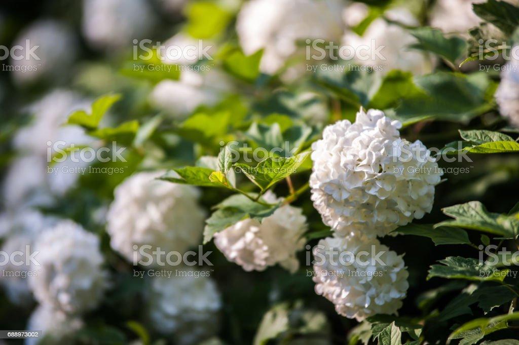 viburnum blossoms stock photo