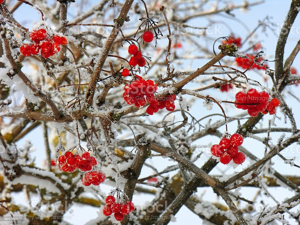 Viburnum clusters on branches in winter stock photo