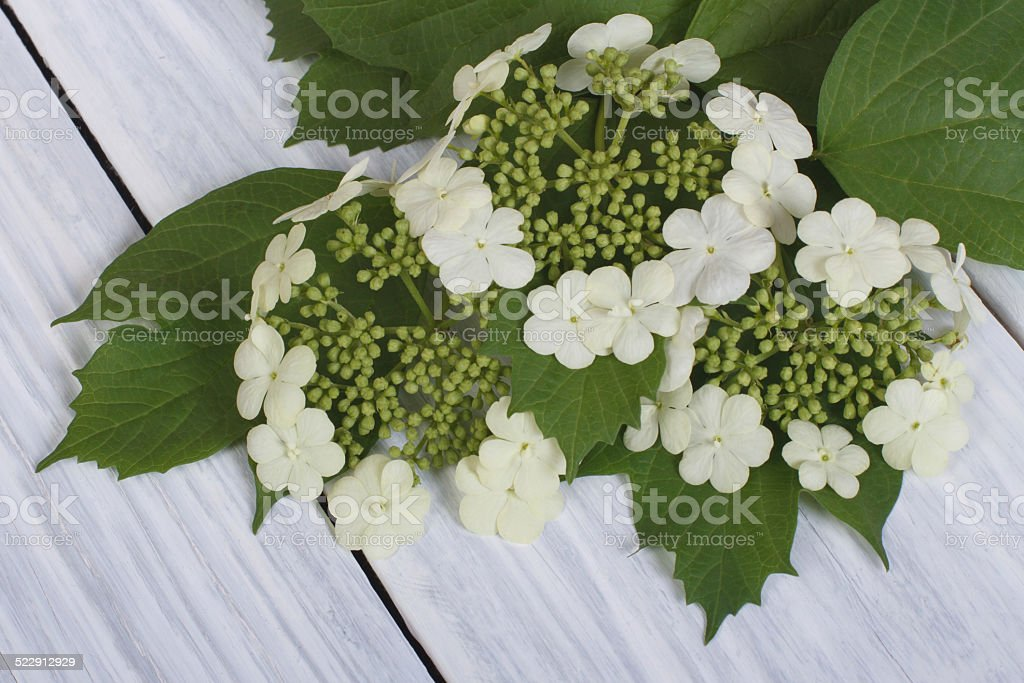 Viburnum flowers from young green leaves on a wooden table stock photo