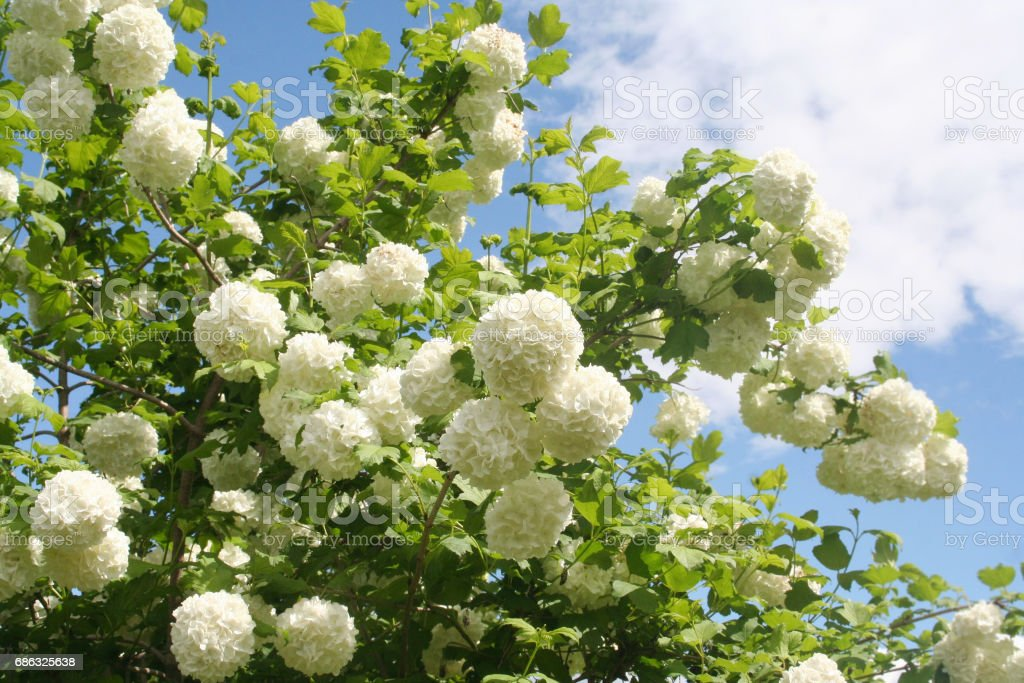 Viburnum opulus with white flowers against blue sky. stock photo