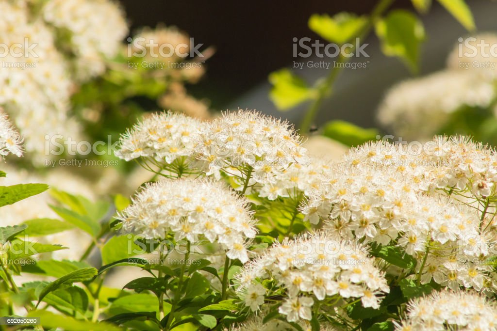 Viburnum opulus with white flowers in spring Snowball bush in the garden stock photo