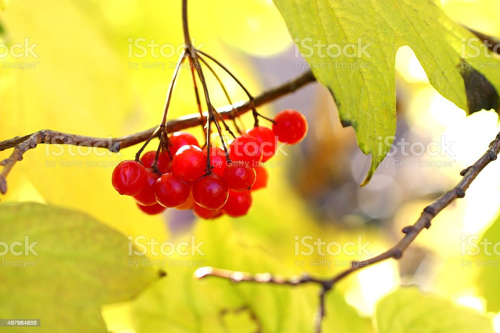 Viburnum royalty-free stock photo