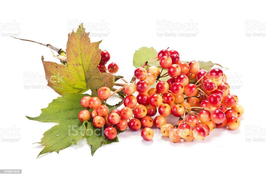 Viburnum stock photo