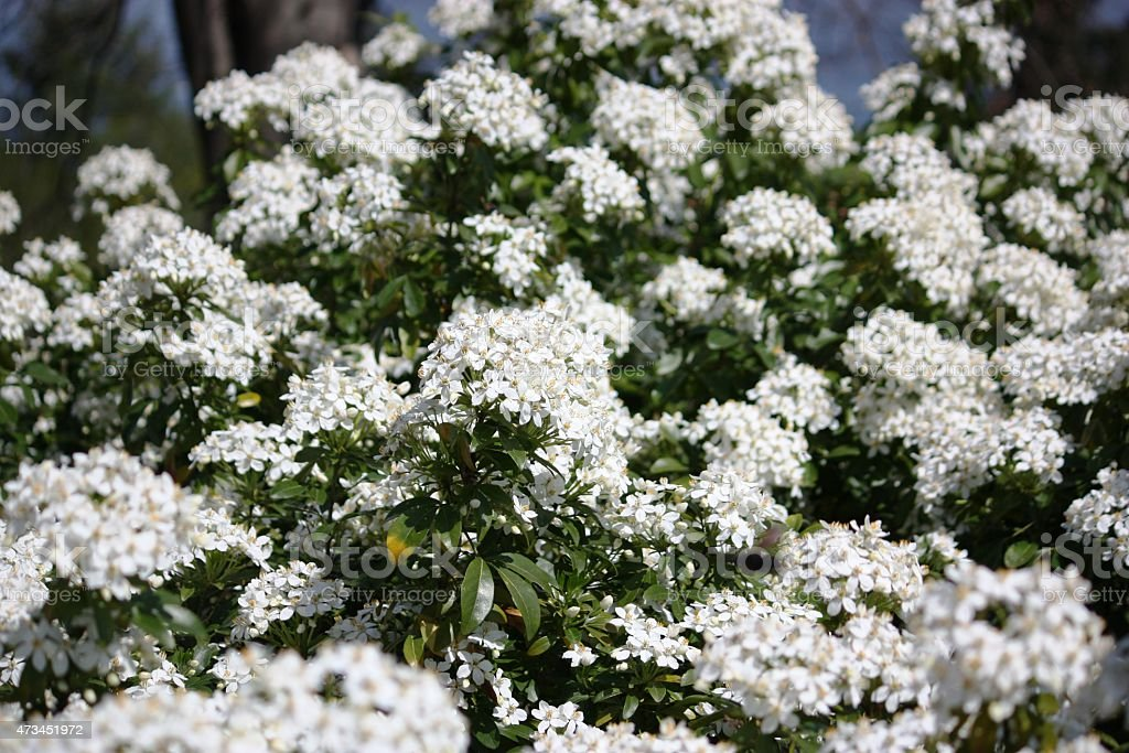 Viburnum Tinus snowball white flowers under blue Lago Maggiore stock photo