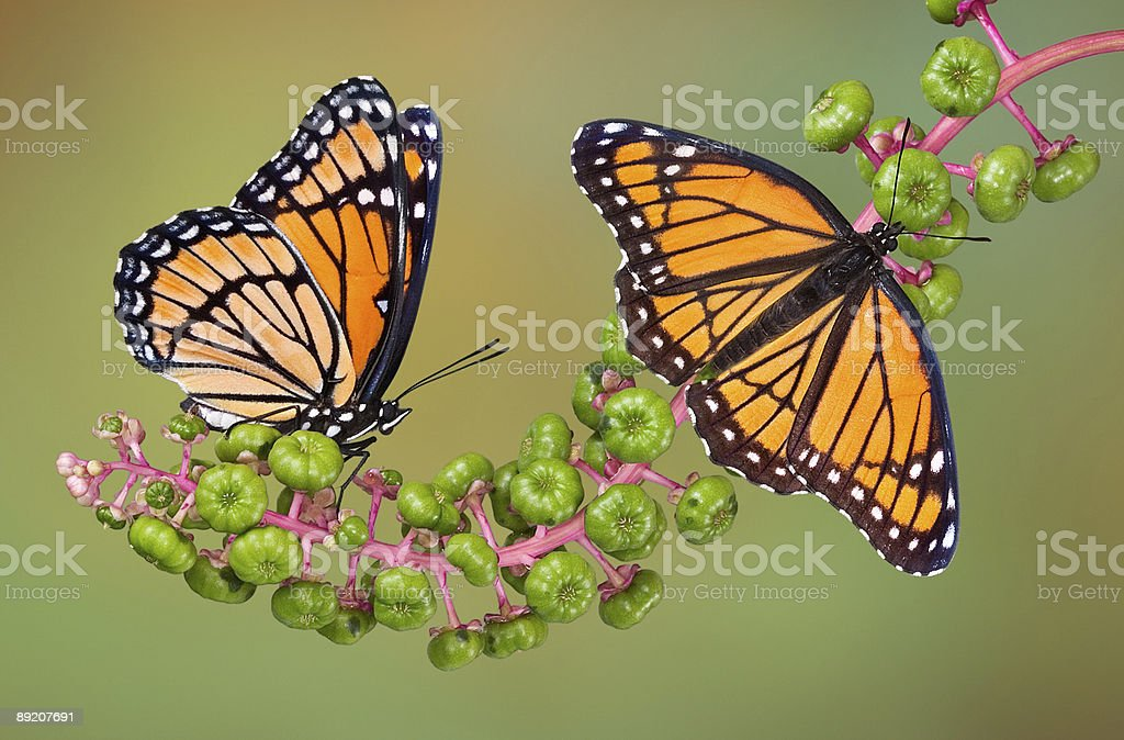 Viceroy butterflies on poke weed royalty-free stock photo
