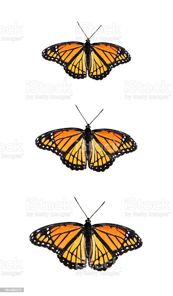 Viceroy Butterfly Limenitis archippus stock photo