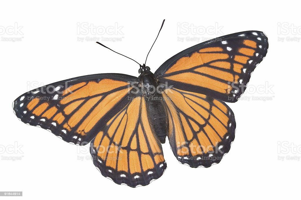 Viceroy butterfly on white royalty-free stock photo