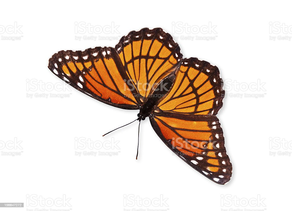Viceroy butterfly (Limenitis archippus) stock photo