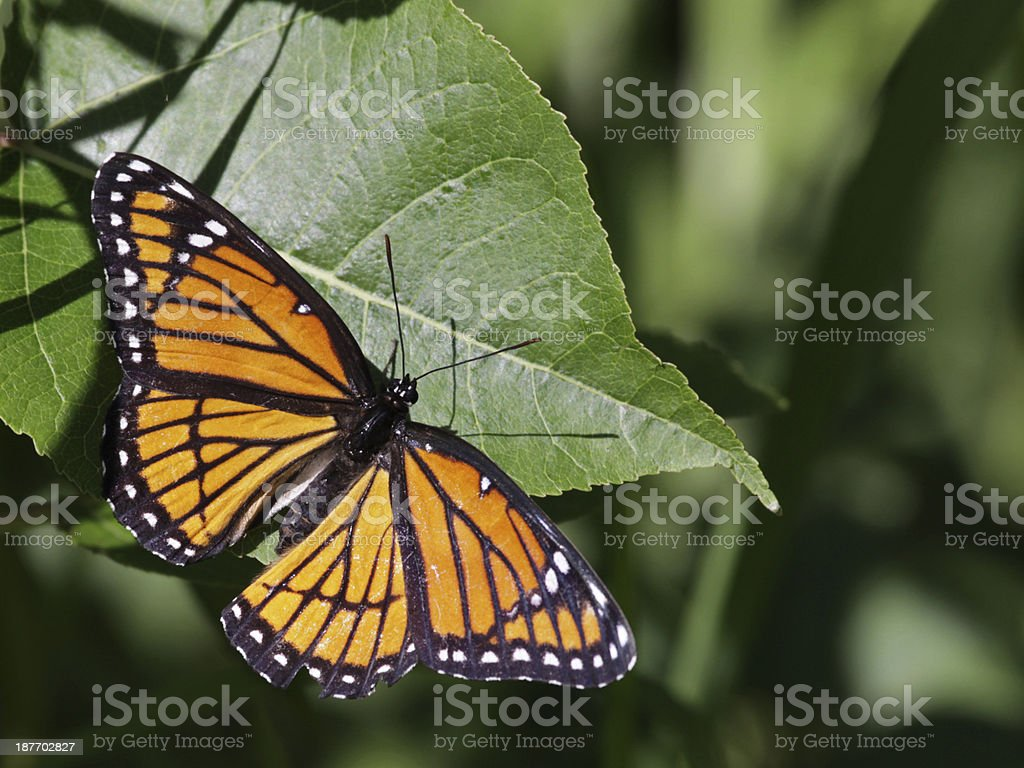 Viceroy Butterfly stock photo