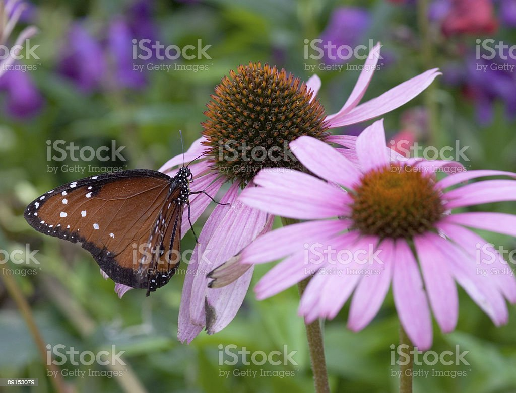 Viceroy (Limenitis archippus) Butterfly stock photo
