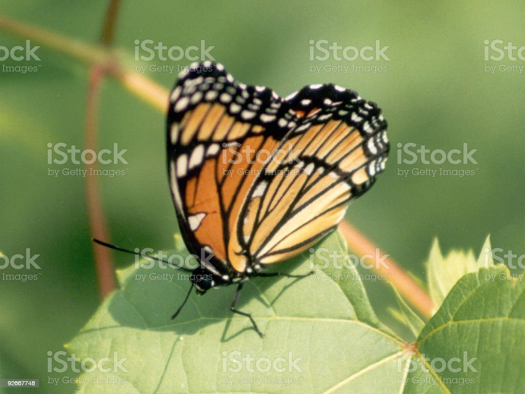 Viceroy Butterfly, sideview royalty-free stock photo