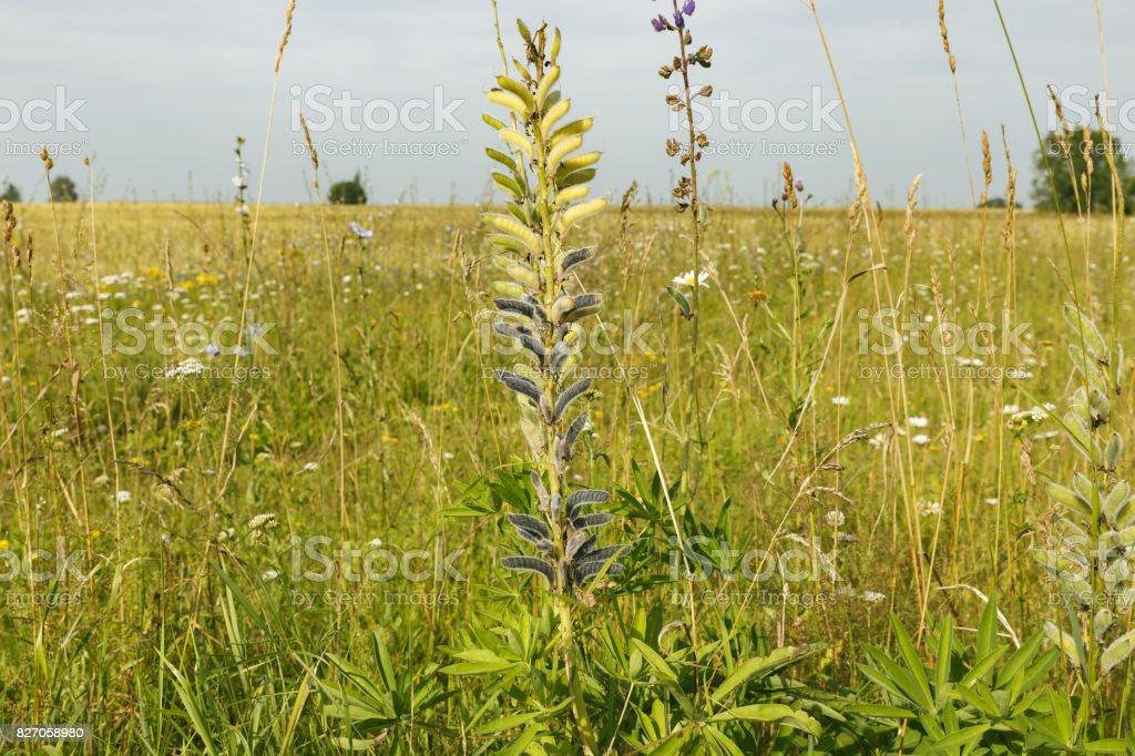 Vicia cracca in field stock photo