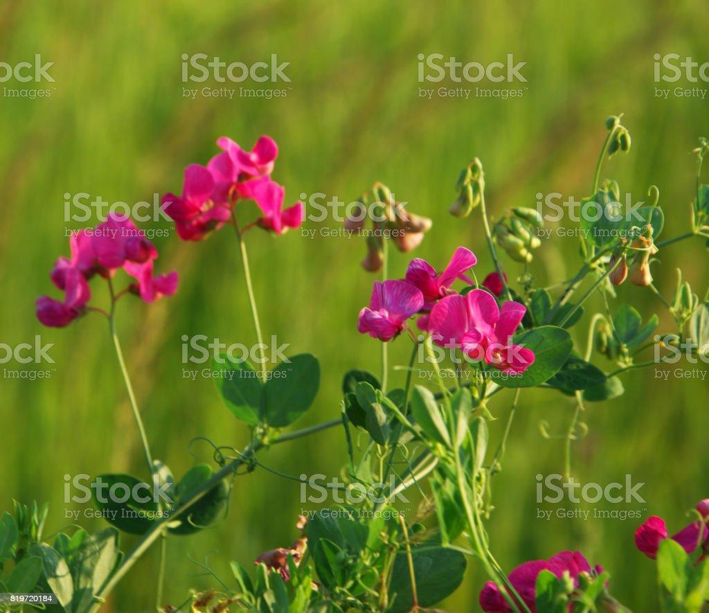 Vicia cracca stock photo
