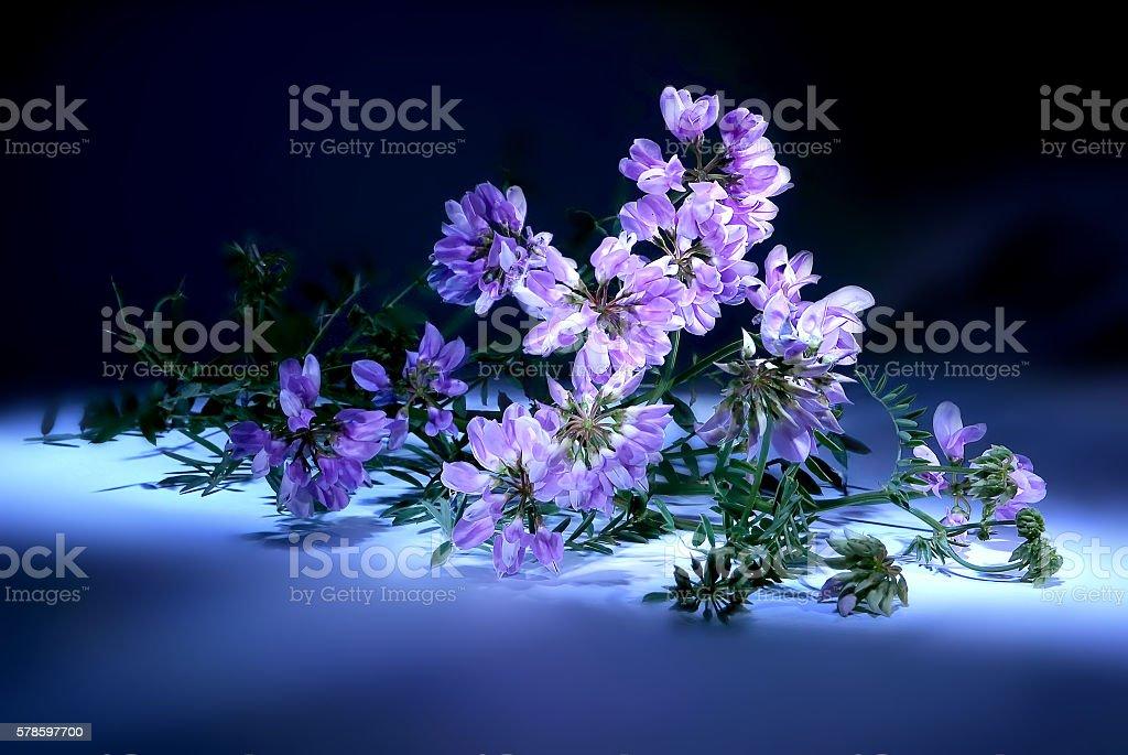 Vicia or vetch stock photo