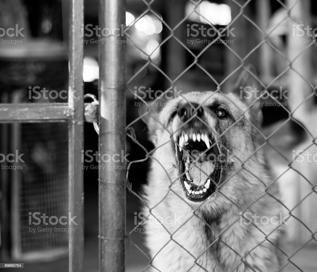 Vicious dog restrained by metal fence barks at someone stock photo